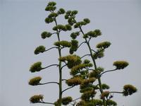 Tonnara del Secco - flora alle falde del Monte Monaco - 19 luglio 2011  - San vito lo capo (820 clic)