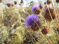 flora - 3 luglio 2011  - Contessa entellina (1439 clic)