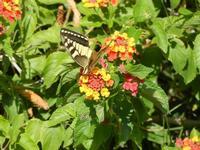 BAGLIO NOVO - farfalla diurna - Macaone su Lantana - 15 agosto 2011  - Fulgatore (918 clic)