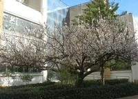 albicocco in fiore - giardino dell'I.C. Pascoli - 5 marzo 2010   - Castellammare del golfo (5912 clic)
