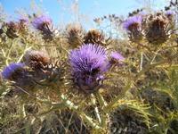 flora - 3 luglio 2011  - Contessa entellina (1149 clic)