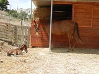 BAGLIO NOVO - cavalla e puledro - 15 agosto 2011  - Fulgatore (880 clic)