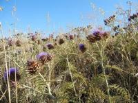 flora - 3 luglio 2011  - Contessa entellina (1266 clic)