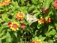 BAGLIO NOVO - farfalla diurna - Macaone su Lantana - 15 agosto 2011  - Fulgatore (1196 clic)