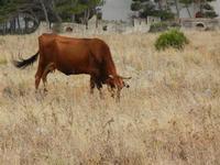 mucca al pascolo alle falde del Monte Monaco - 19 luglio 2011  - San vito lo capo (781 clic)