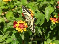 BAGLIO NOVO - farfalla diurna - Macaone su Lantana - 15 agosto 2011  - Fulgatore (1280 clic)