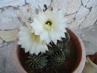gli splendidi fiori bianchi di un cactus - 11 maggio 2011  - Alcamo (843 clic)