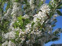 fiori di mandorlo - 3 aprile 2011  - Scopello (1361 clic)