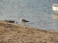 gabbiano in riva al mare - 1 maggio 2011  - San vito lo capo (820 clic)