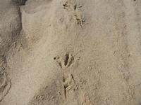 Zona Canalotto - impronte di gabbiano sulla sabbia - 17 settembre 2011  - Alcamo marina (733 clic)