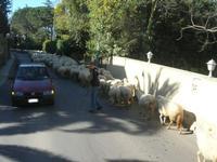 gregge in strada - 5 dicembre 2010  - Grammichele (1846 clic)