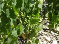 vite ed uva - 3 luglio 2011  - Sambuca di sicilia (1193 clic)