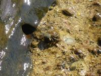granchio all'Isulidda - 31 luglio 2011  - Macari (811 clic)
