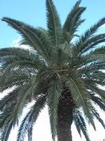palma in agonia dopo l'attacco del punteruolo rosso - giardino dell'I.C. Pascoli - 14 ottobre 2010  - Castellammare del golfo (1235 clic)