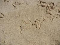Zona Canalotto - impronte di gabbiano sulla sabbia - 17 settembre 2011  - Alcamo marina (1395 clic)
