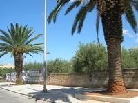 lungo la strada - palme ed oliveto - 5 settembre 2010  - Castelluzzo (2445 clic)