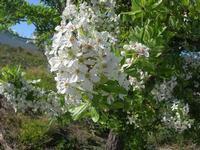 fiori di mandorlo - 3 aprile 2011  - Scopello (1343 clic)