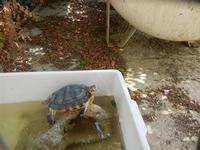 BAGLIO NOVO - tartaruga - 15 agosto 2011  - Fulgatore (949 clic)
