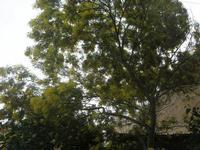 mimosa - 20 febbraio 2011  - Marinella di selinunte (1588 clic)