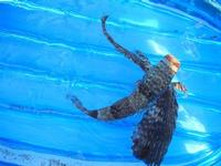 pesce corvo pescato all'Isulidda - 31 luglio 2011  - Macari (975 clic)