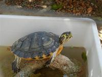 BAGLIO NOVO - tartaruga - 15 agosto 2011  - Fulgatore (939 clic)
