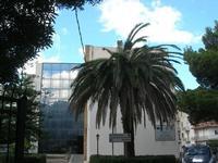 palma in agonia dopo l'attacco del punteruolo rosso - giardino dell'I.C. Pascoli - 14 ottobre 2010  - Castellammare del golfo (1372 clic)