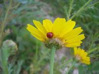 Cala Mazzo di Sciacca - coccinella e margherite - 3 aprile 2011  - Castellammare del golfo (1065 clic)