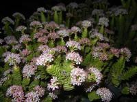 pianta grassa fiorita - 4 dicembre 2011  - Bagheria (777 clic)