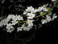 fiori di susino nel giardino di casa - 24 marzo 2011  - Alcamo (1164 clic)