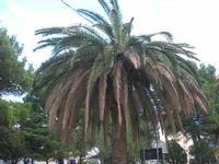palma in agonia dopo l'attacco del punteruolo rosso - giardino dell'I.C. Pascoli - 14 ottobre 2010  - Castellammare del golfo (1165 clic)