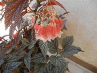foglia argentata e fiore - 14 agosto 2011  - Alcamo (774 clic)