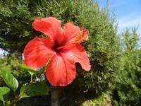 fiore di ibisco rosso - 24 settembre 2011  - Alcamo (1162 clic)
