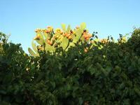 fichidindia oltre la siepe - 12 settembre 2010   - Marinella di selinunte (2157 clic)