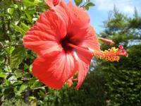 fiore di ibisco rosso - 24 settembre 2011  - Alcamo (661 clic)