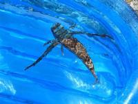 pesce corvo pescato all'Isulidda - 31 luglio 2011  - Macari (827 clic)
