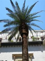 palma al centro del cortile di un palazzo - 8 agosto 2011 PALERMO LIDIA NAVARRA