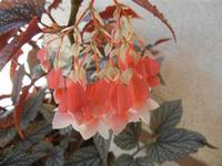 il delicato fiore di foglia argentata - 14 agosto 2011  - Alcamo (1036 clic)