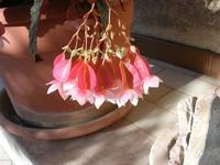 delicato fiore della foglia argentata - 23 agosto 2010  - Alcamo (1382 clic)