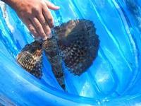 pesce corvo pescato all'Isulidda - 31 luglio 2011  - Macari (782 clic)
