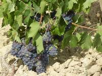C/da Birgi Vecchi - uva nera - 4 agosto 2011  - Marsala (1125 clic)