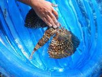 pesce corvo pescato all'Isulidda - 31 luglio 2011  - Macari (978 clic)