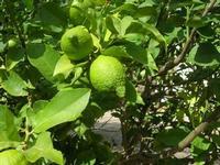 limoni - 15 ottobre 2010  - Castellammare del golfo (1424 clic)
