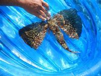 pesce corvo pescato all'Isulidda - 31 luglio 2011  - Macari (4031 clic)