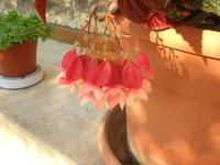 delicato fiore della foglia argentata - 23 agosto 2010  - Alcamo (1430 clic)
