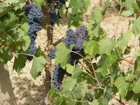 C/da Birgi Vecchi - uva nera - 4 agosto 2011  - Marsala (1078 clic)
