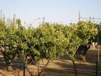 alberi di pruna (susine) e pirazzola - 17 luglio 2011  - Alcamo (981 clic)