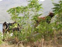 Tonnara del Secco - bovini tra la vegetazione - 19 luglio 2011  - San vito lo capo (734 clic)