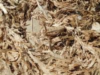un grillo ben mimetizzato - 31 luglio 2011  - Macari (954 clic)
