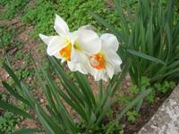 delicati fiori bianchi - 17 marzo 2011  - Alcamo (1150 clic)
