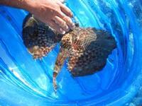 pesce corvo pescato all'Isulidda - 31 luglio 2011  - Macari (830 clic)